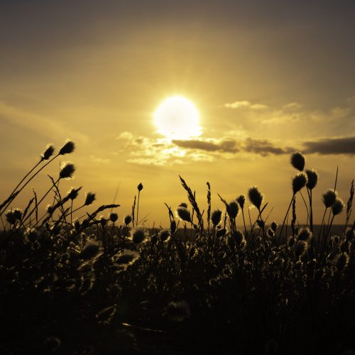 Stems of cottongrass with their distinctive head resembling a ball of cotton silhouetted against the setting sun.