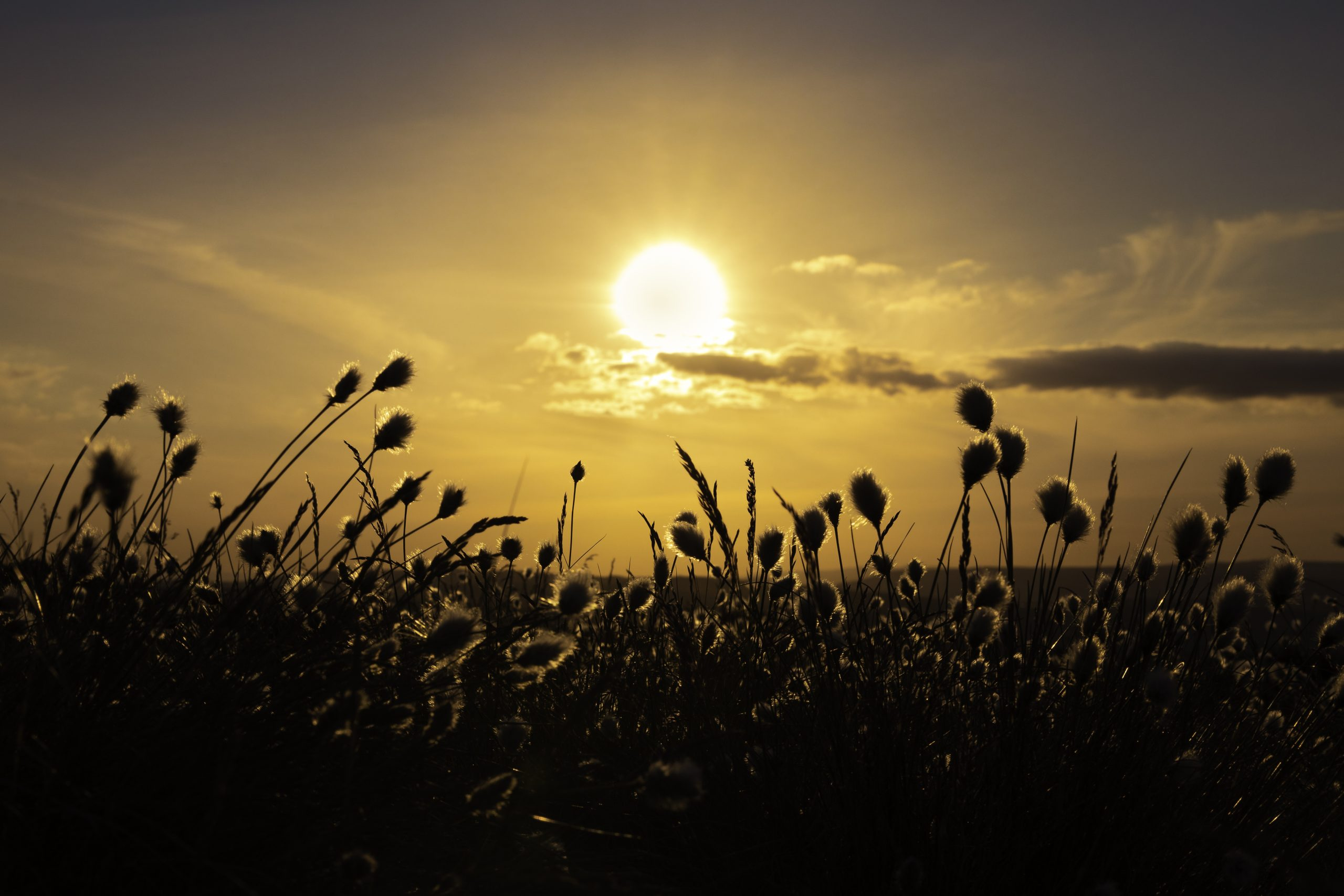 """Stems of cottongrass with their distinctive head resembling a ball of cotton silhouetted against the setting sun. on a guided walk in Yorkshire"""" width="""""""" height="""