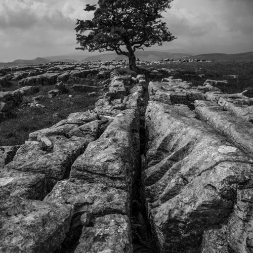 A limestone pavement in the Yorkshire Dales, with a lone Hawthorn tree.