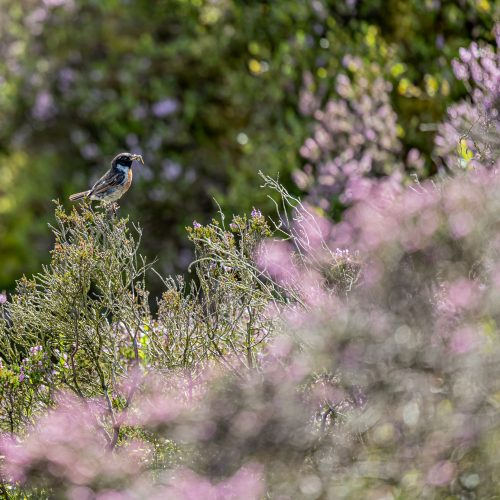 A Stonechat perched on some heather eating an insect, seen on Ilkley Moor