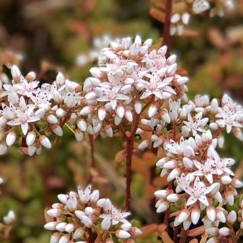 Close-up of stonecrop flowers growing on slate spoil, showing the intricate and delicate white flowers